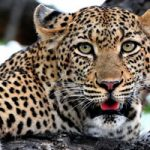 African Leopad