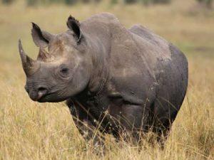 African Rhinoes
