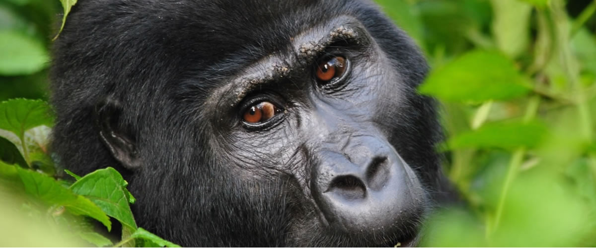 Visit Mountain Gorillas in Uganda