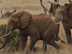 Lewa Elephant Orphans