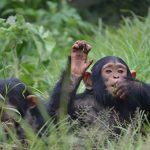 Lwiro Chimpanzee Sanctuary