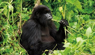 Gorilla Photo Tours Africa