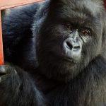 Sekenkwe Gorilla Orphanage