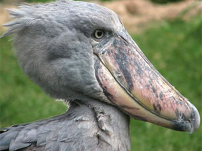 African Shoebill Safaris