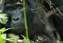 Bwindi Gorilla Safaris