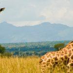 Giraffes in Kidepo Valley National Park