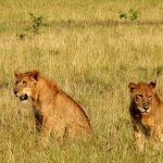 Lions in Kidepo Valley National Park, Uganda