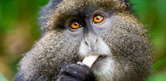 Golden Monkey Safaris