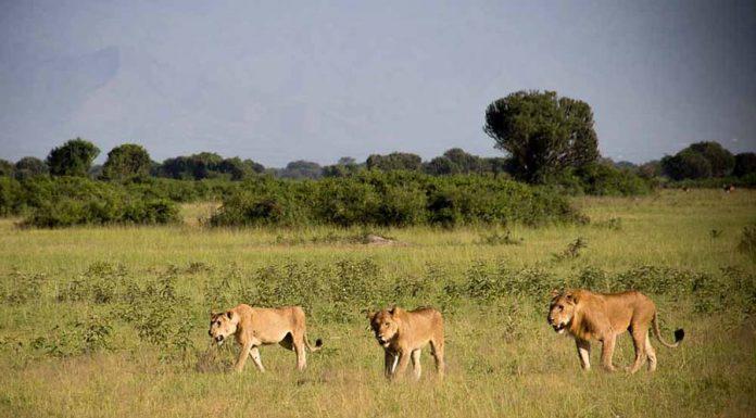 Lion Tracking in Queen Elizabeth Uganda