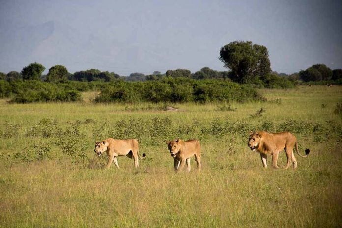 Lion Tracking in Queen Elizabeth Uganda