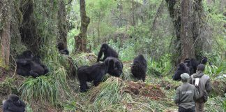Visit Rwanda Gorillas