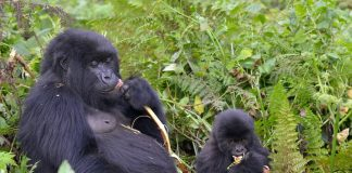 Gorilla Tours in Uganda