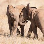 Two Elephants Brothers in West Africa