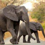 Two Elephants Trekking Through Africa