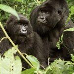 Gorilla Tours (2)